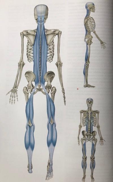 svanasana - Adho Mukha Svanasana (Aşağı Bakan Köpek Pozu) 'nın omurga sağlığı ile ilişkisi